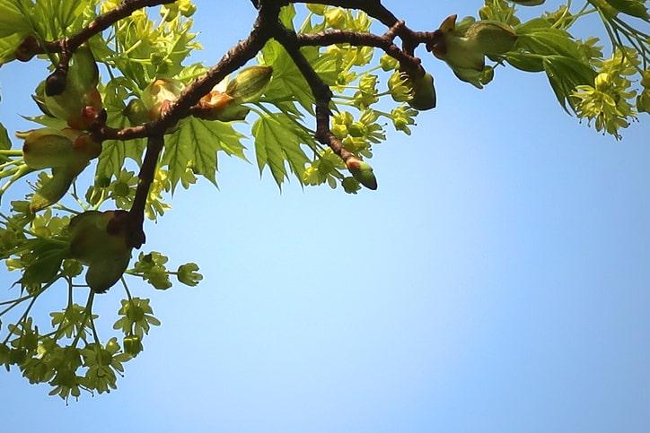 Hedge maple