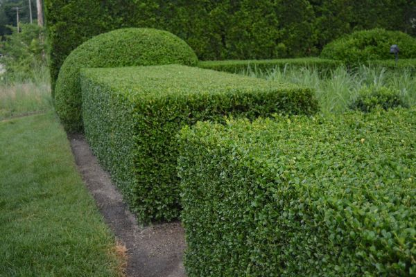 15 ways to trim a hedge in your yard for Bosso in vaso