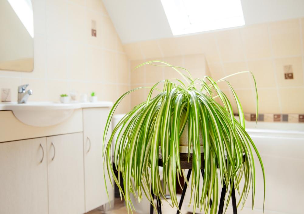Bathroom Spider plant