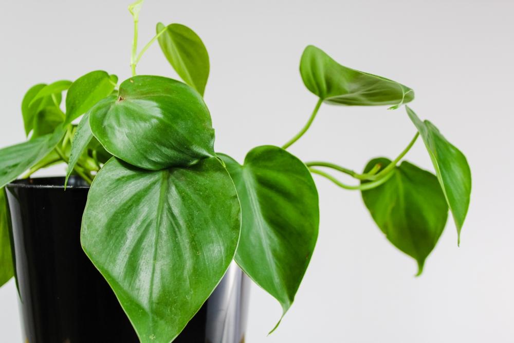 Heartleaf Philodendron