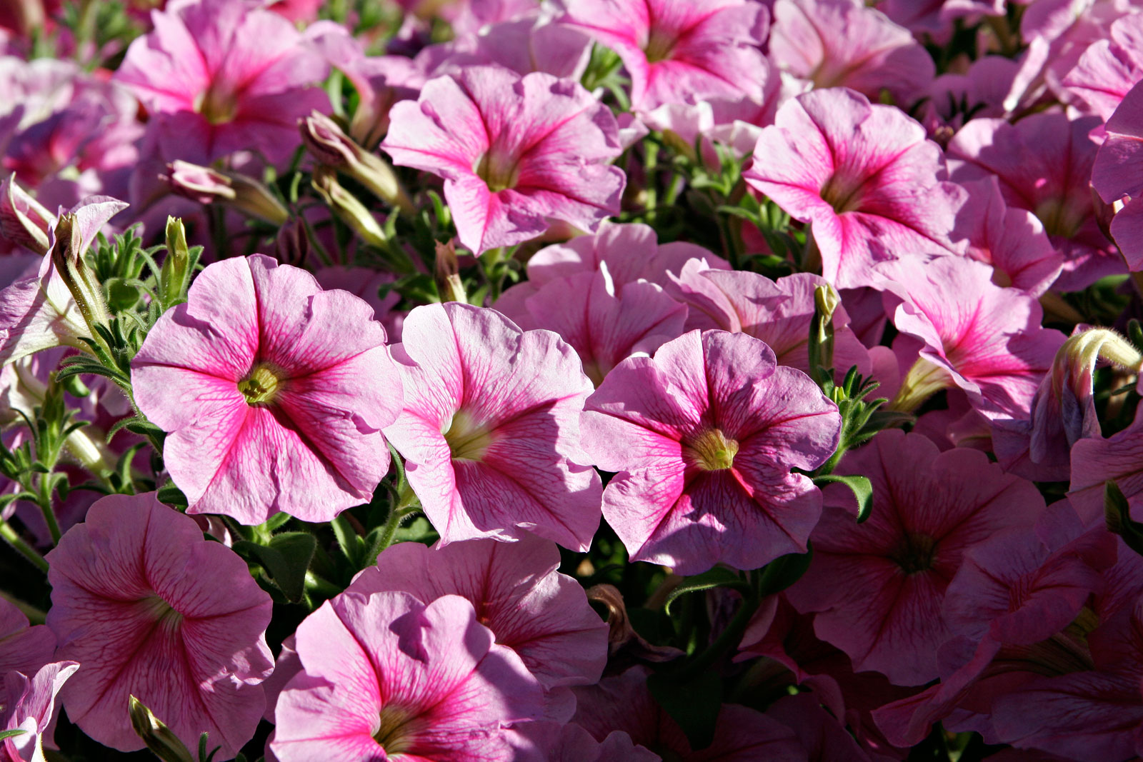 Easy pretty flower combination ideas for landscaping 1 petunias pansies mightylinksfo