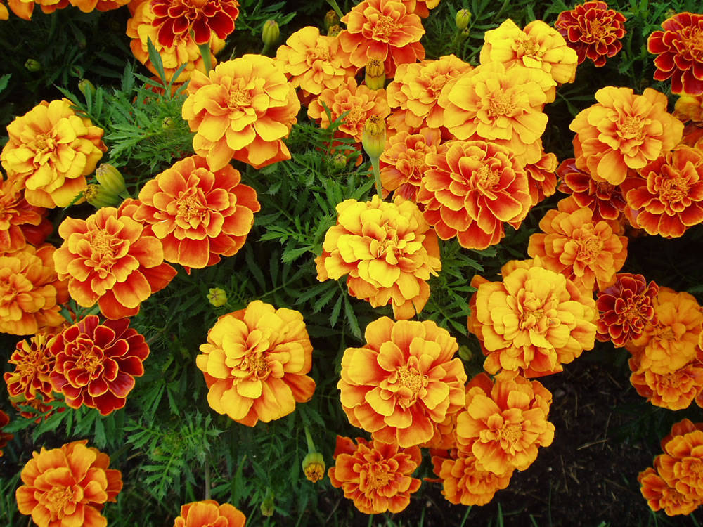 Easy Amp Pretty Flower Combination Ideas For Landscaping