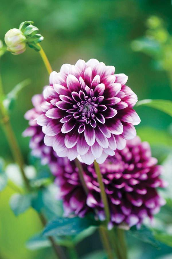 Easy pretty flower combination ideas for landscaping 3 dahlias alium mightylinksfo