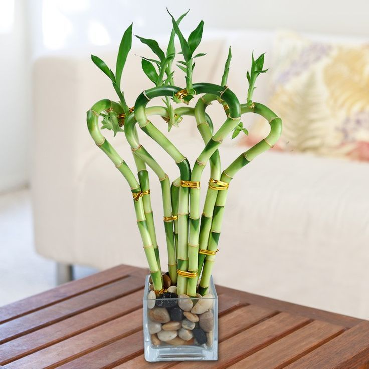 Low light indoor plants you can decorate with for Bamboo prezzo