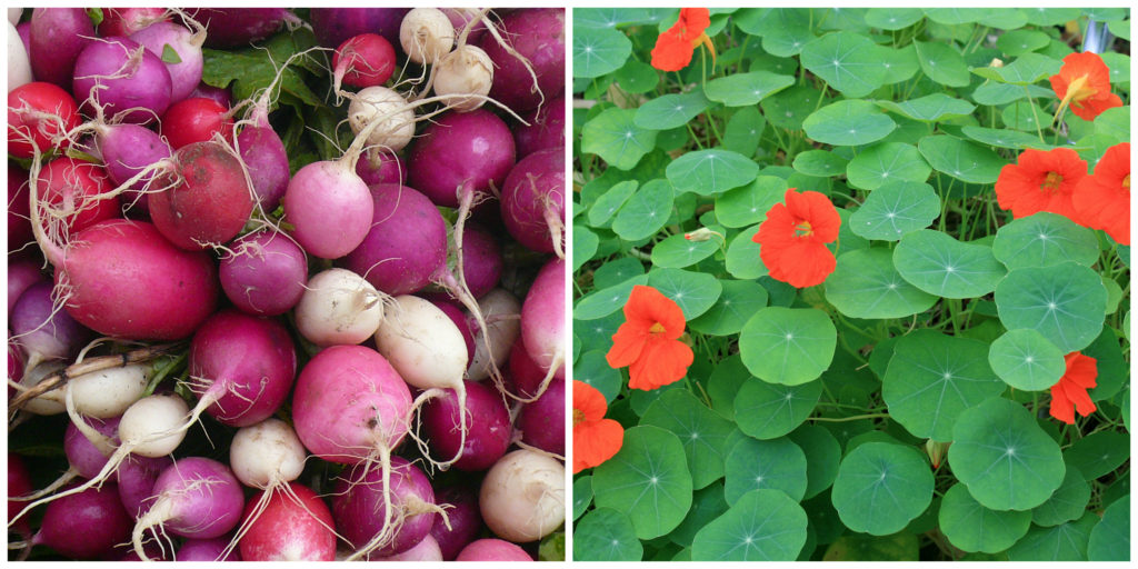 radishes and nasturtium