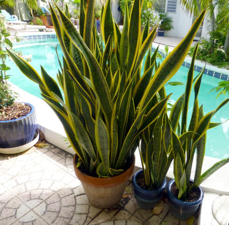 Low light indoor plants you can decorate with for Tall indoor plants low maintenance
