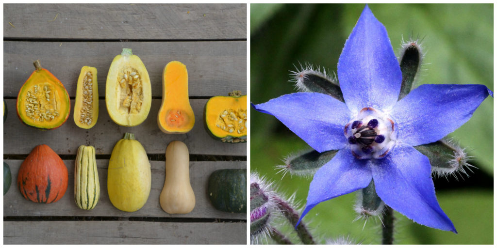 squash and borage