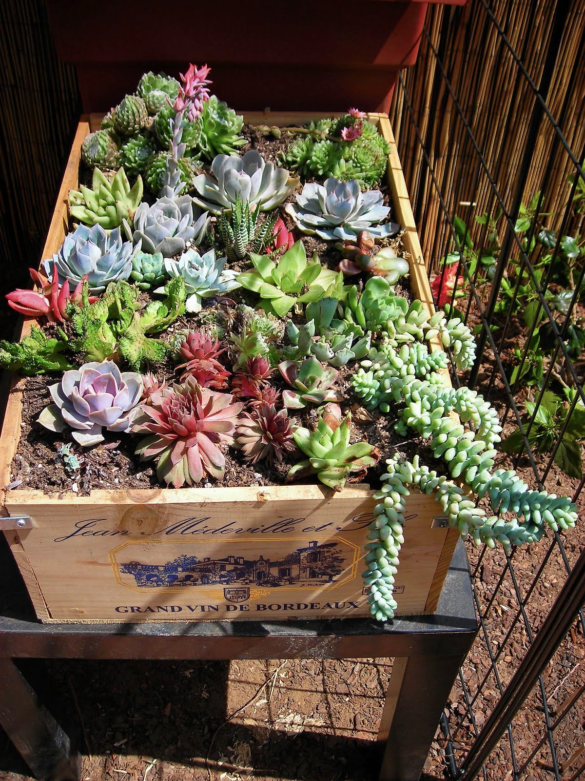 Garden succulent in a wine crate