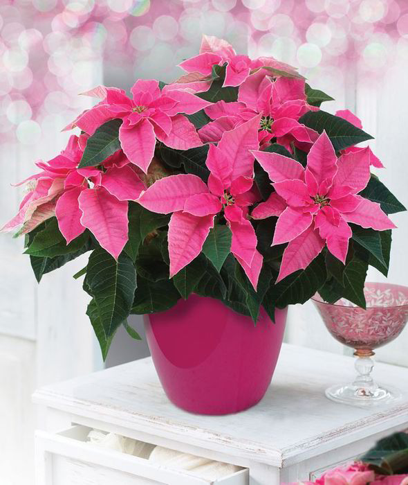 Poinsettias in Pink