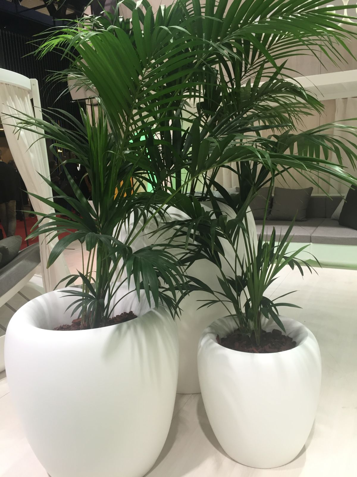Areca palm and white large pots