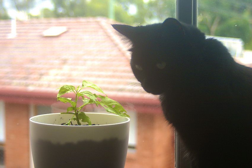 Growing Your Own Chilies Indoors Cat Closer