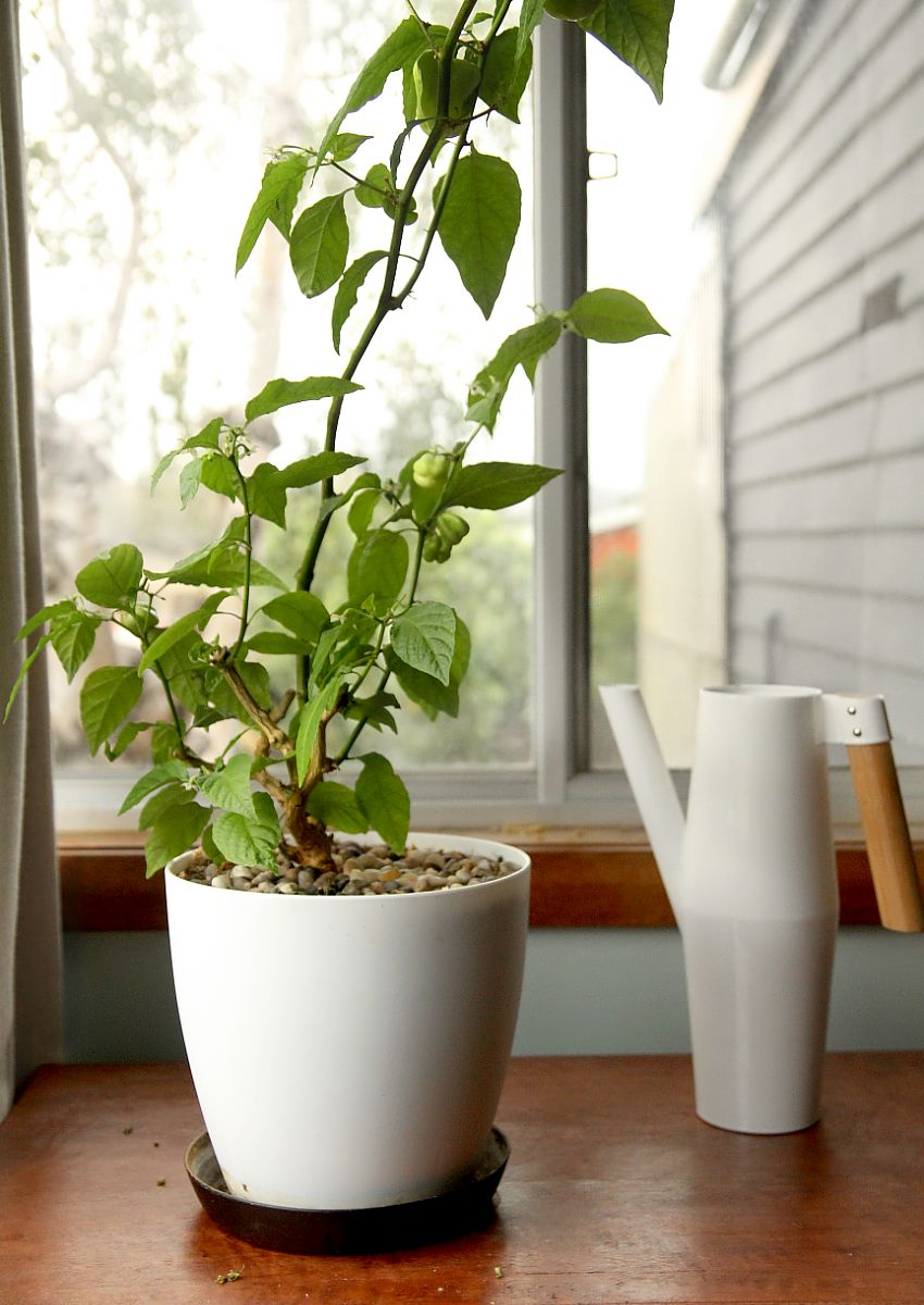 Growing Your Own Chilies Indoors Plant