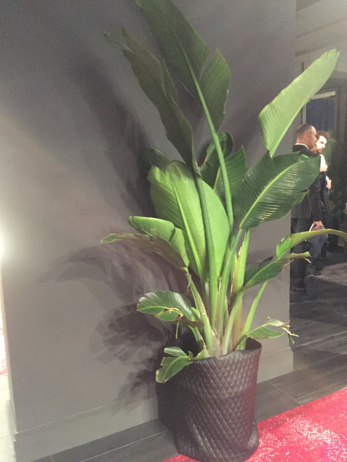 Large lady palm plant and leather wrap pot