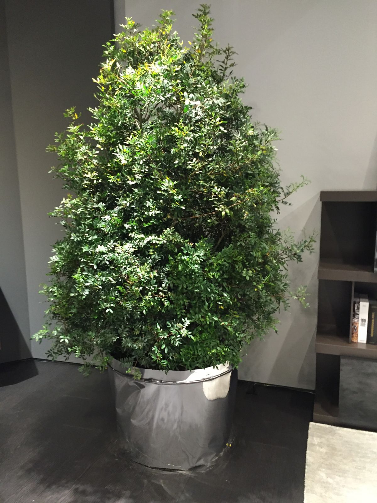 Large tree for big living rooms