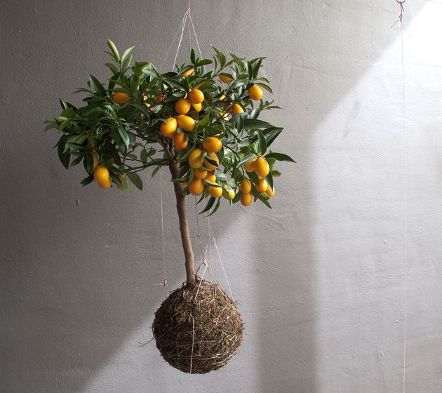 Lemon string plant hanging