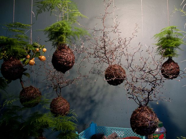 Magical sphere string plant