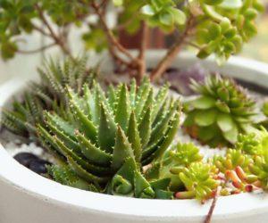 室内植物101:所有关于多肉植物