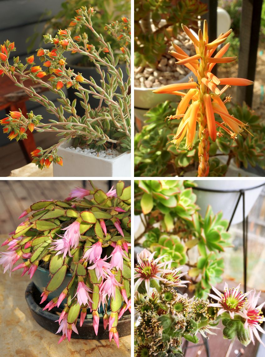 All About Succulents Flowers