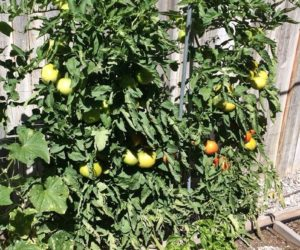 How to Grow Gorgeous Tomatoes In Pots from Seeds