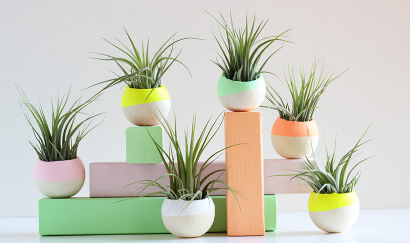 Mini air plants with bold color