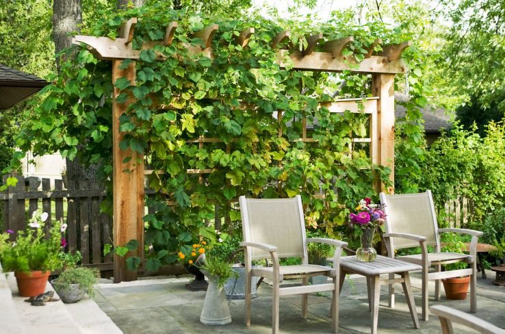 Vines are perfect for patio and pergolas