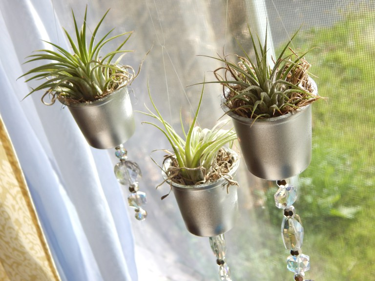 Window hanging air plants