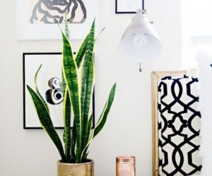 Snake Plants – The Most Tolerant And Easy To Care For Succulents