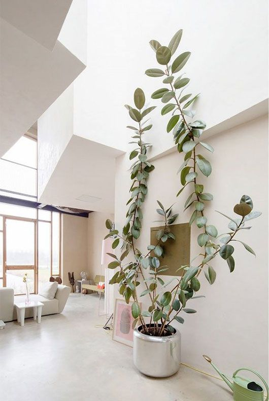 large indoor plants for sale in atlanta tall ceiling big house