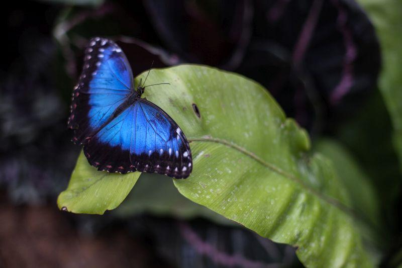 Blue Butterflies in backyard