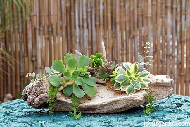 Succulent driftwood arrangement