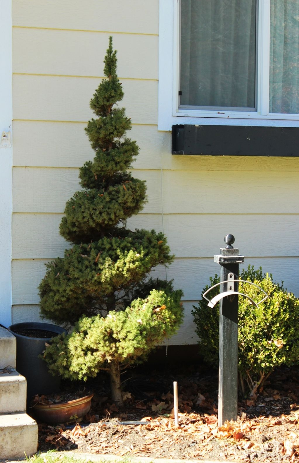 Curb Appeal - trimming out an evergreen tree