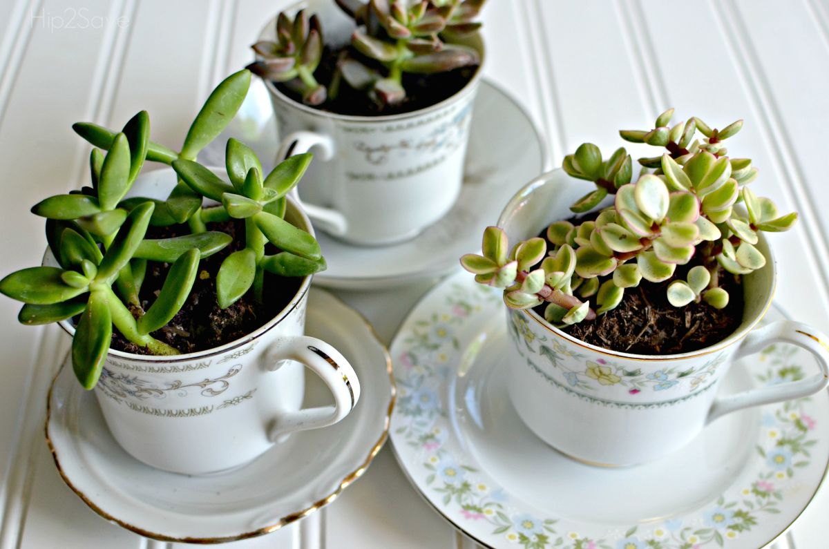 Tea cups used like succulents for plants