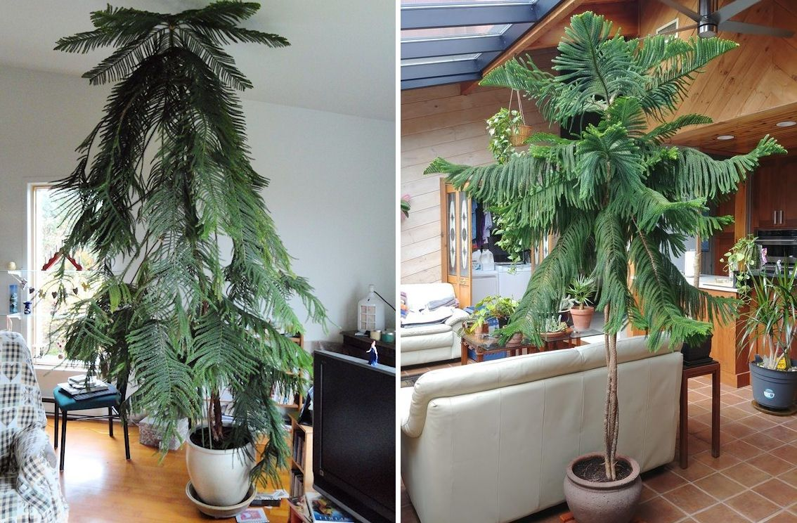 The 10 Best Indoor Trees For Homes And Workspaces
