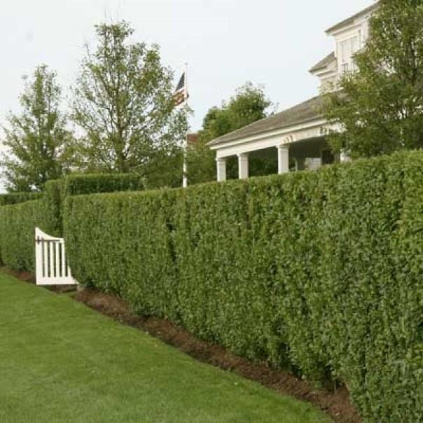 diy fence Privet Hedge Fence