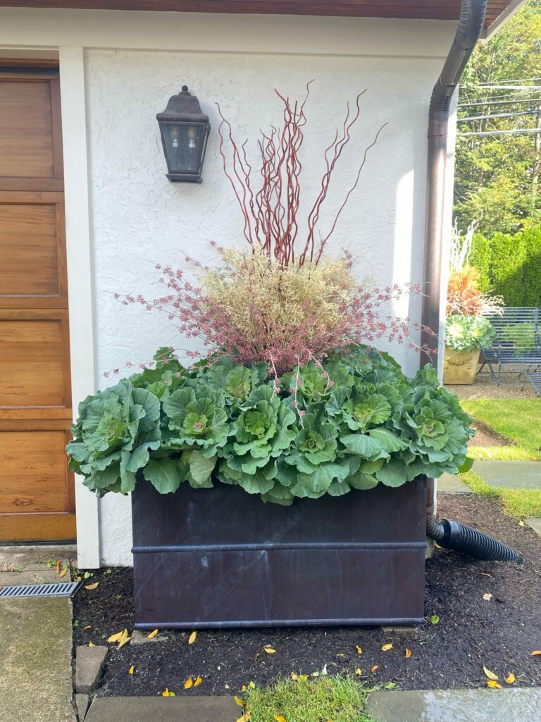 Ornamental Kale and Cabbage