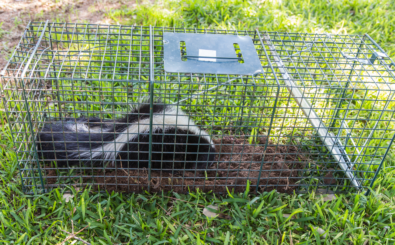 Baiting And Trapping Skunks