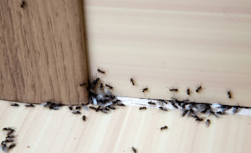 How To Kill Ants And Prevent Them From Coming Back
