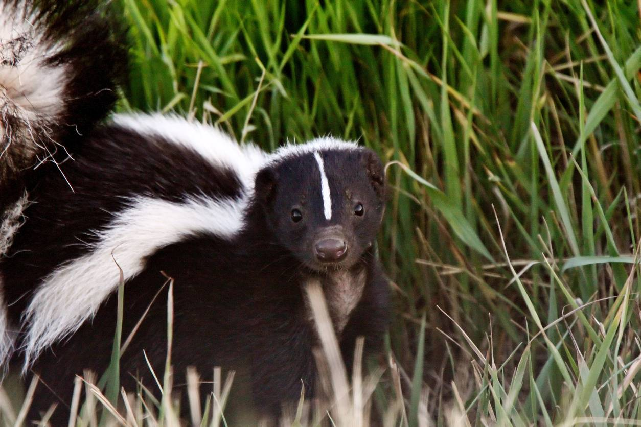 How To Recognize A Skunk