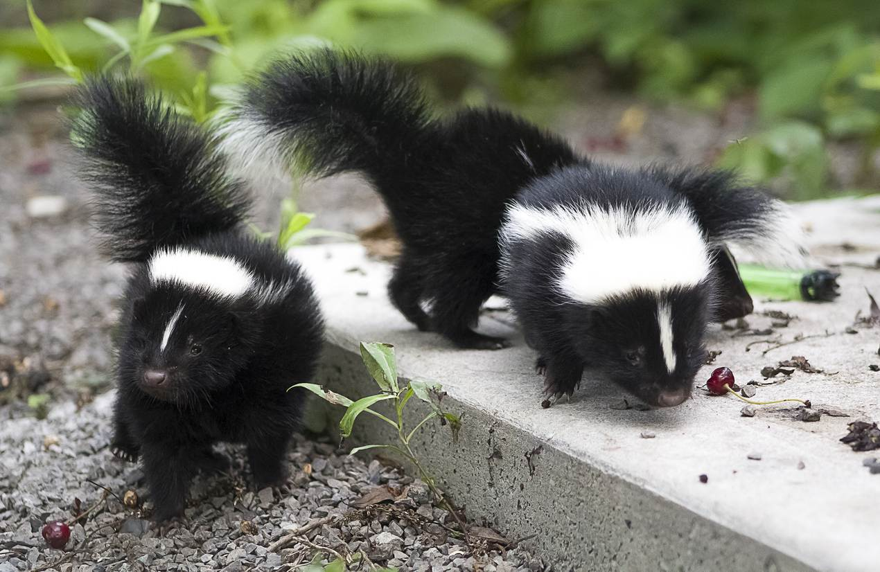 What Attracts Skunks