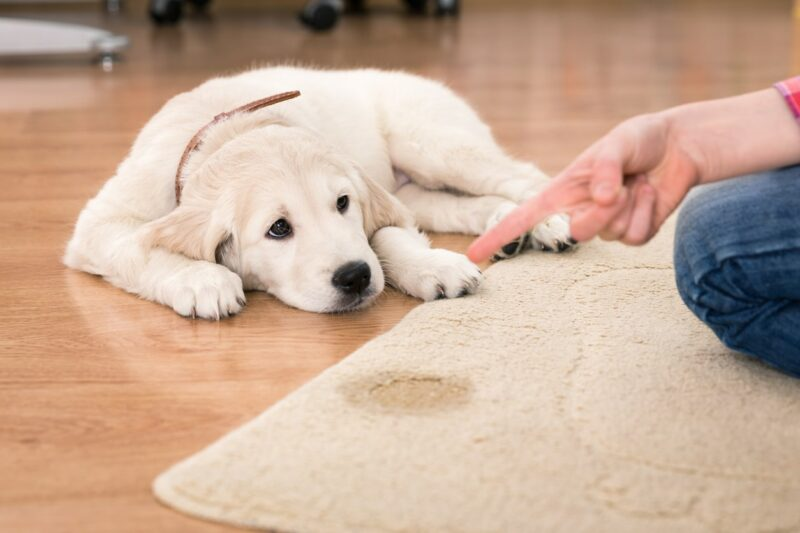 How To Get Dog Pee Out Of Carpet