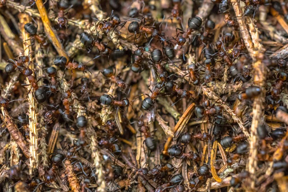 Getting Rid Of Widespread Ants