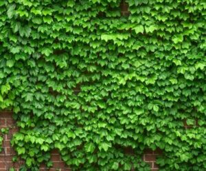 How To Kill Ivy And Identify Poison Ivy
