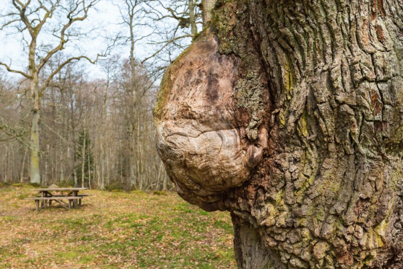 What Is Burl Wood Made From Real Tree Burls?