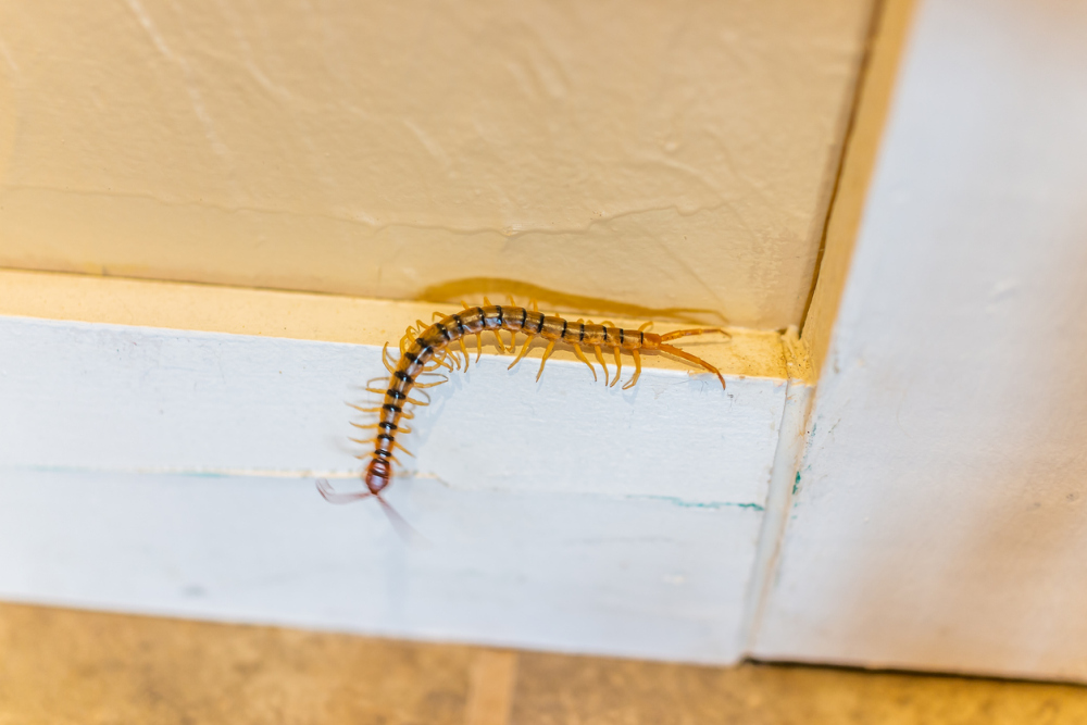 What Is A House Centipede