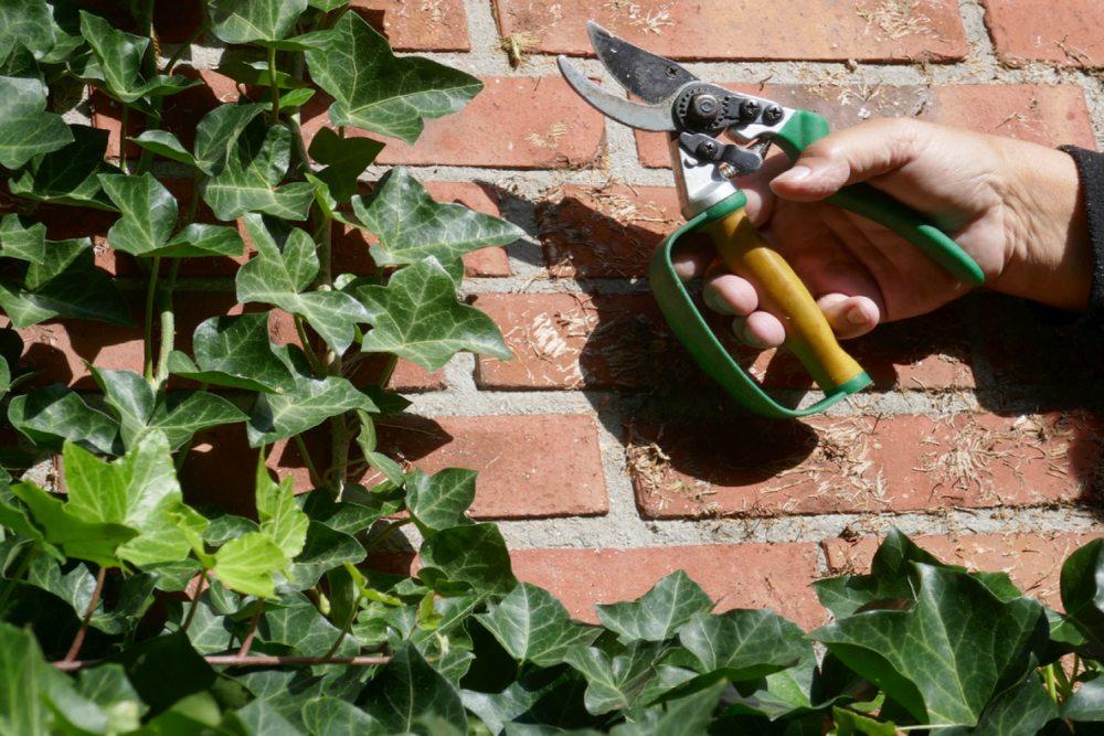 English ivy Pruning