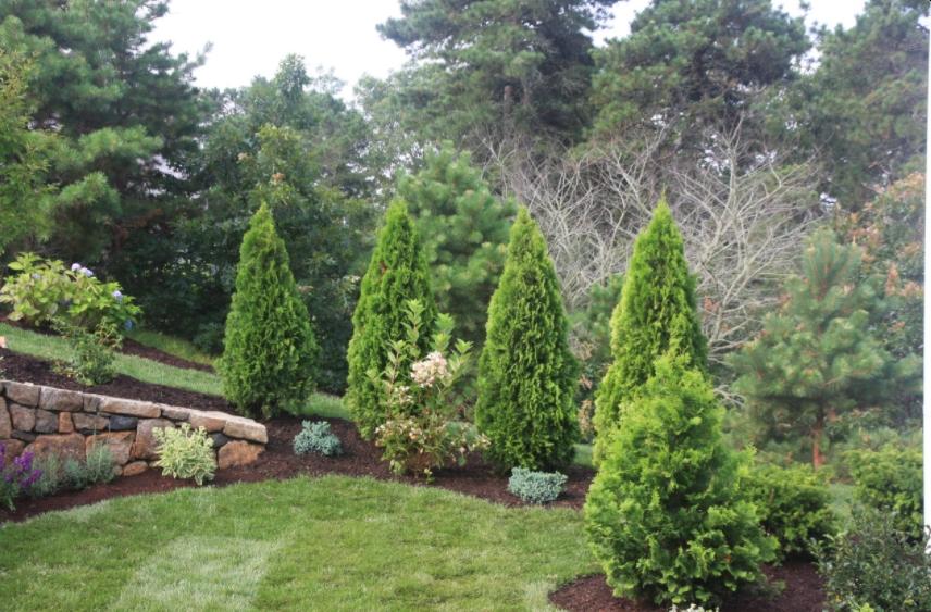 How To Plant Emerald Green Arborvitae