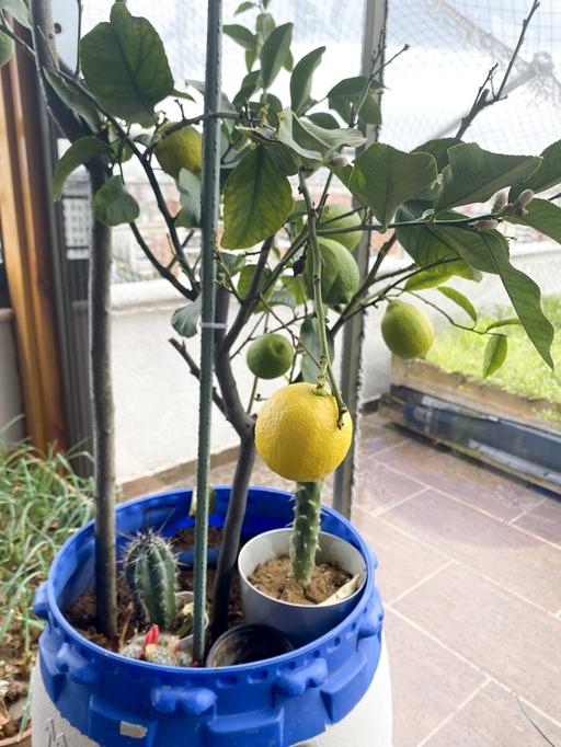 Lemon Tree - Up To 20 Feet Tall