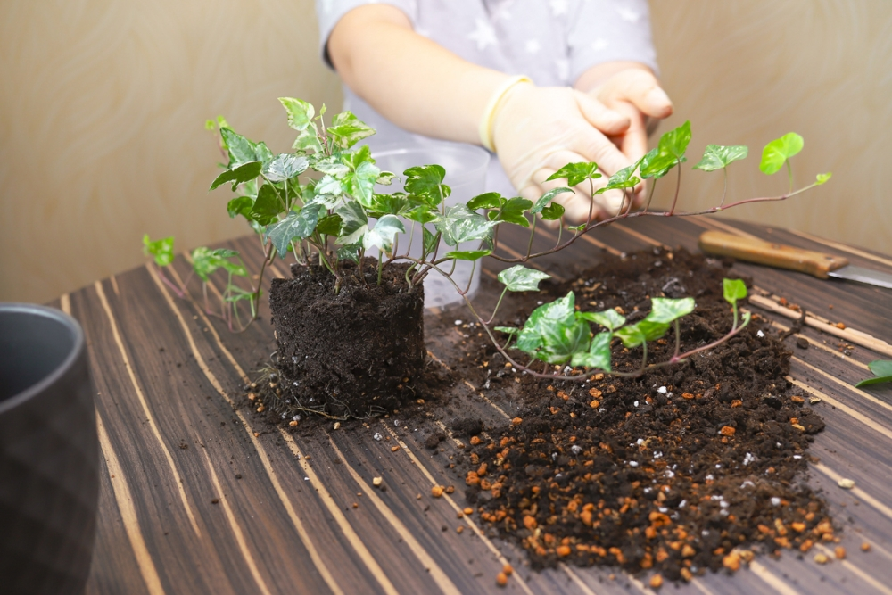 How to Grow an English Ivy Plant Indoor