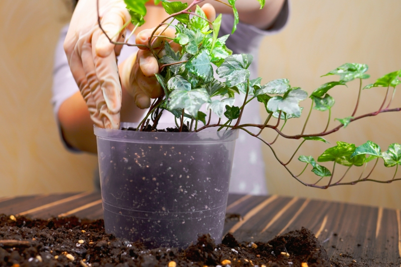 Repotting the English ivy plant