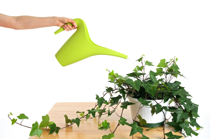 watering the english ivy plant